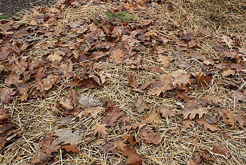 A Heavy Mulch Of Straw And Leaves
