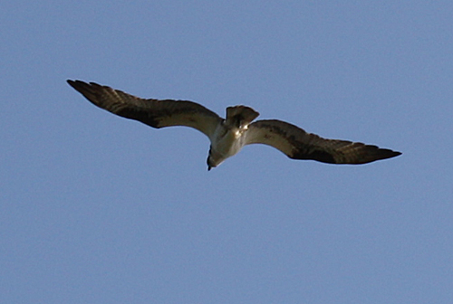 Osprey Flying Just Above Us