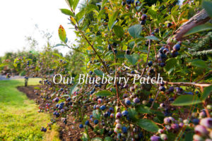 best place to stay in camden maine-high bush blueberries_IMG_4678-2016 copy