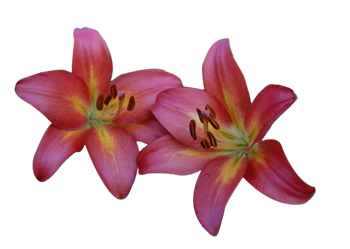 Asiatic Lily, Camden Maine Bed and Breakfast