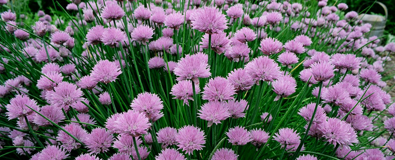 Chives, Hotels in Lincolnville, Maine